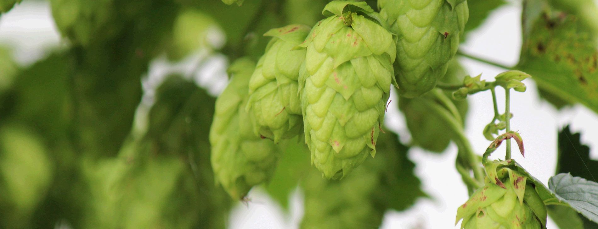 Cover photo of hops
